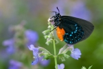 atala-butterfly