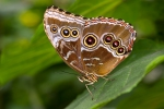 blue-morpho-butterfly3