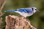 bluejay-on-stump