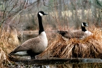 canada-geese-pair