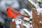 cardinal-on-stump5
