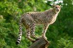 cheetah-on-tree2