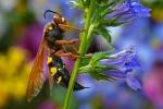 cicada-killer