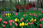 covered-bridge-tulips