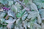 fall-frosty-leaves2