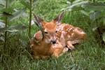 fawn-