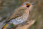 flicker-on-tree2