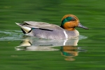 green-wing-teal2