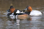 hooded-merganser-swimming