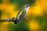 hummbird