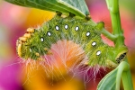 imperial-moth-caterpillar8