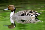 northern-pintail2