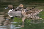 pintail-pair2