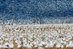 snow-geese11