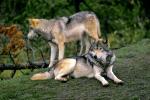 teton-wolf-pair