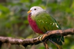 wompoo-fruit-dove