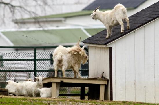 goat-climbers