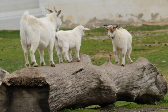 goat-impasse