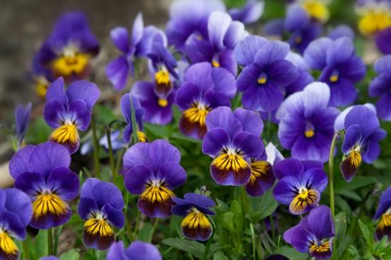 spring-pansies