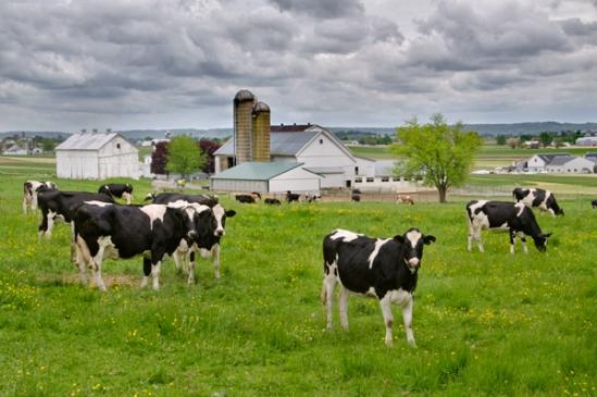 cows-graze-under-storm