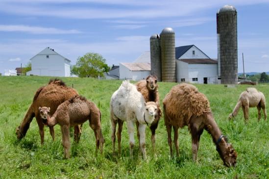 lancaster-co-camels2