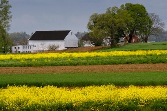 mustard-field-stripes