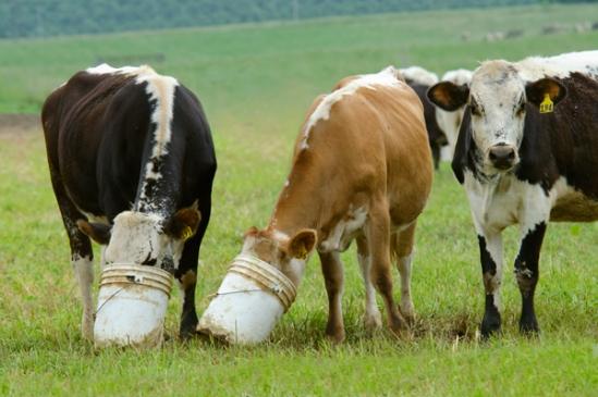 bucket-head-cows