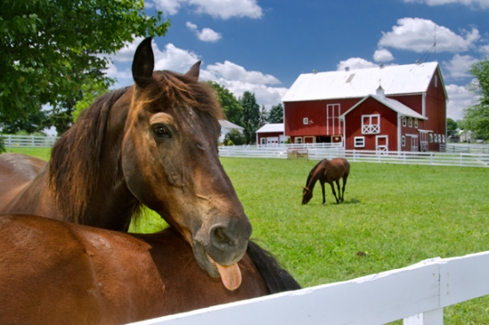 horse-tongue