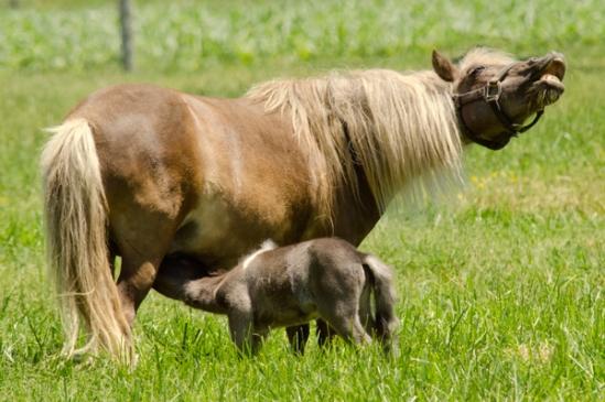 pony-feeding
