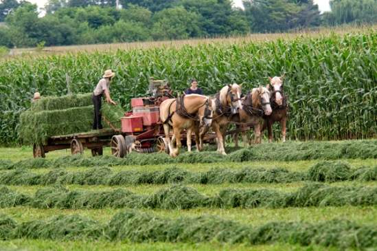 amish-harvesting-field