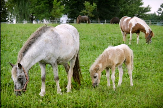 ponies-grazing