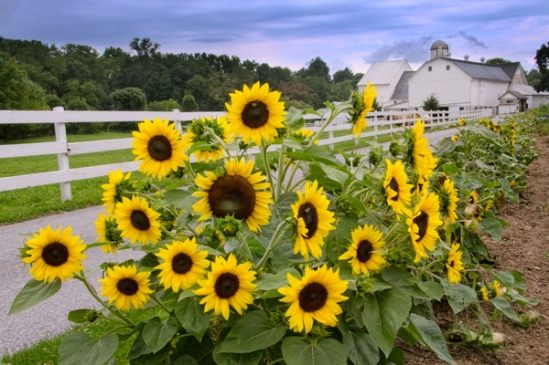 sunflower-farm