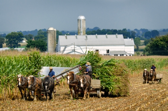 amish-corn-removal