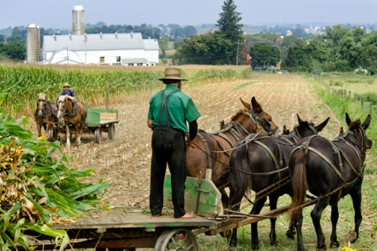 amish-corn-removal3