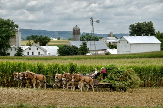 amish-fall-corn-cutting