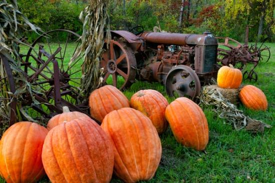 pumpkins-at-tractor