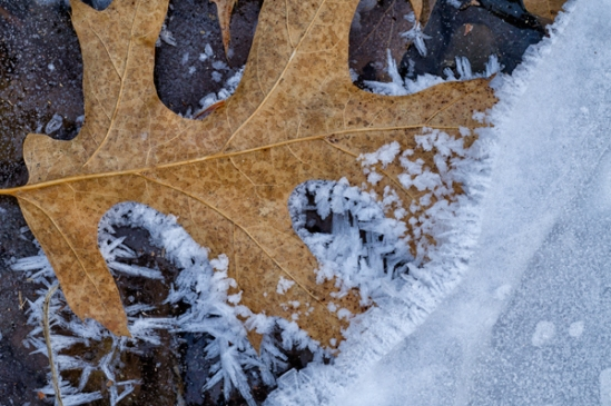 leaf-in-ice-crystals