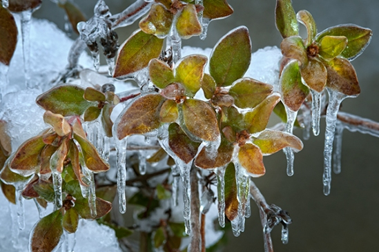 ice-covered-leaves