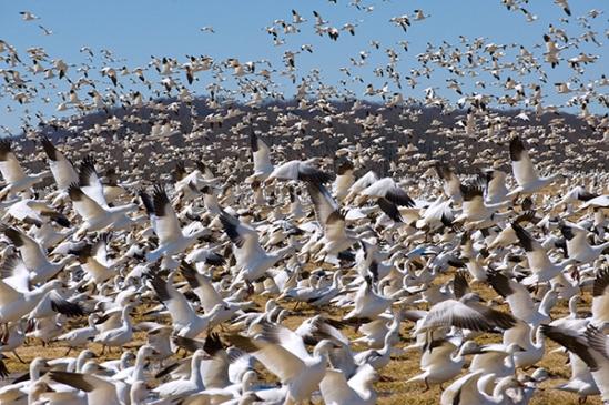 snow-geese-flock36