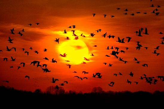 snow-geese9