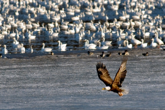 eagle-with-snow-geese