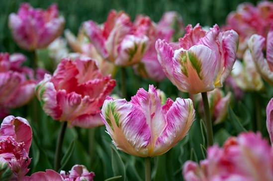 fringed-tulips