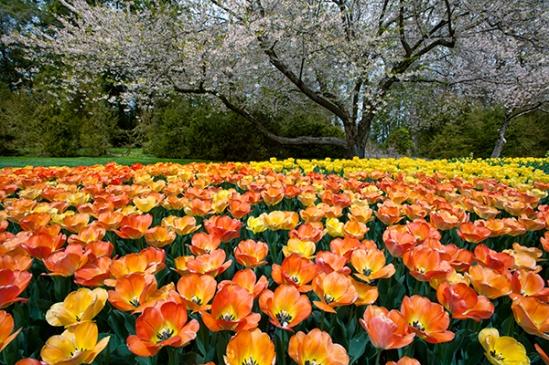longwood-tulip-expanse