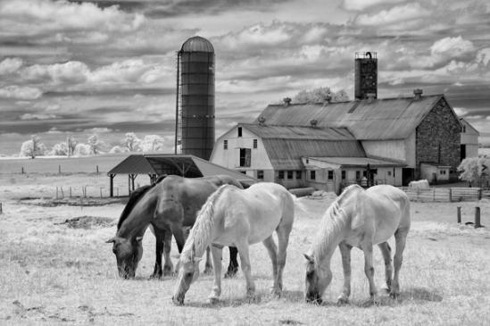 horses-infrared