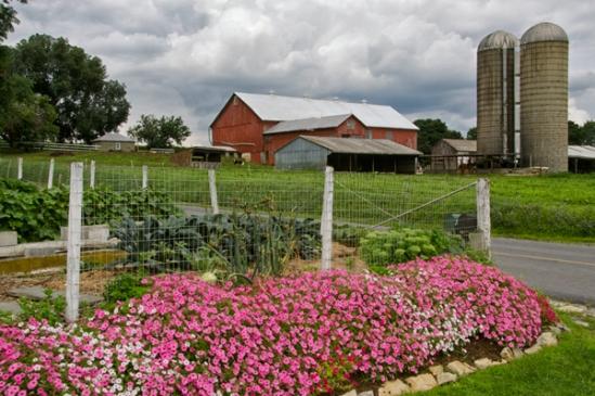 petunias-by-farm
