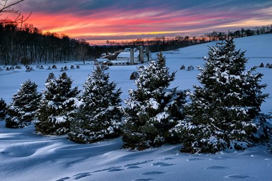 akron-rd-farm-pines3