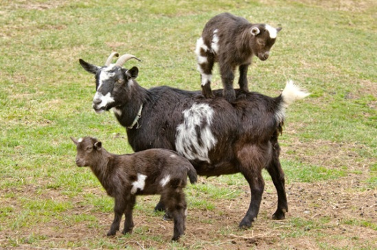 spring-goats