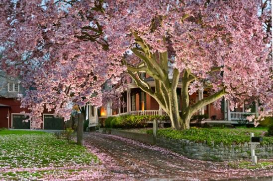 strasburg-magnolia