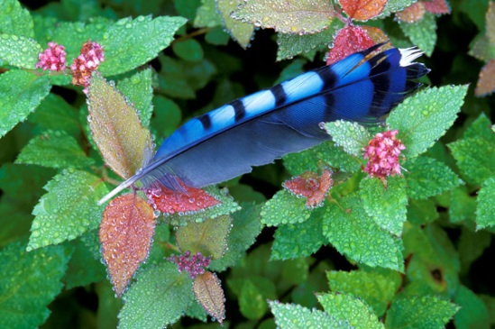bluejay-feather