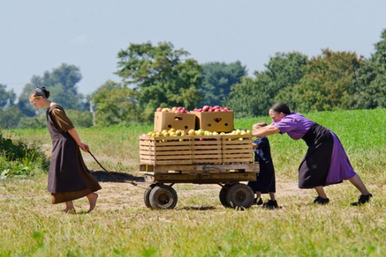 amish-apple-harvest